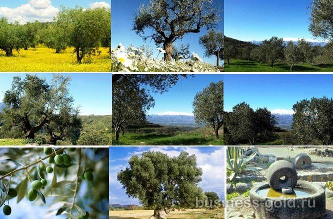 Оливковая плантация и современный завод по переработке и розливу оливкового масла, Пелопонесс, Греция